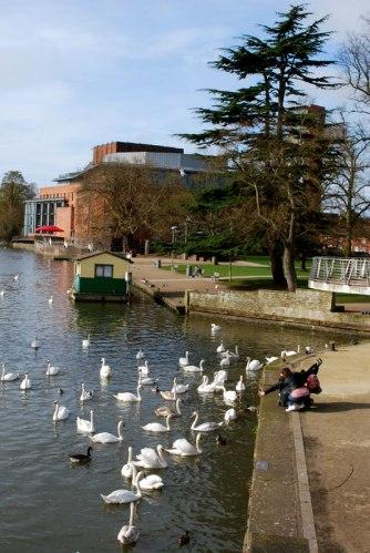 Feeding the swans on the River Avon